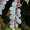 Oregon Grape plant.
