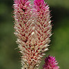 "Celosia, or ""Flamingo Feather."""