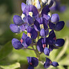 Bluebonnet -- state flower of Texas.