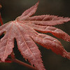 Closer view of one Japaneese Maple leaf.