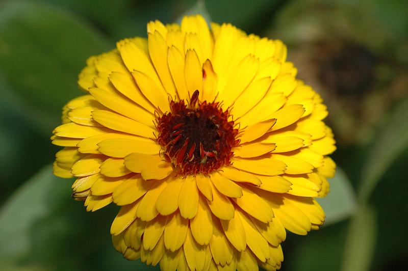 Poet's Marigold.