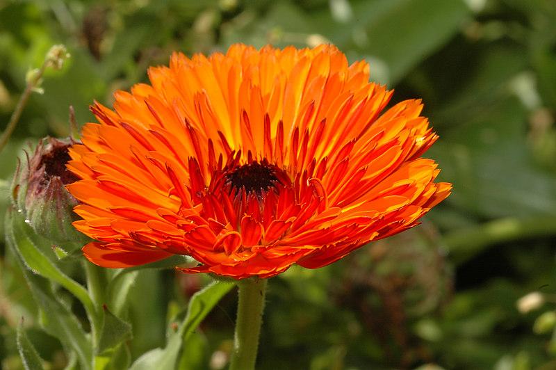 Ultra orange Poet's Marigold.