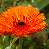 Ultra orange Poet's Marigold.