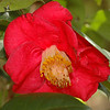 Camelia blooming in a very shady spot.