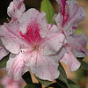 "Unlabeled Azalea. Sandy said it ought to be called ""Peppermint."""