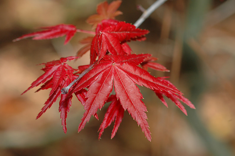 Japaneese Maple leaves.
