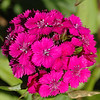 A lone Sweet William bouquet.