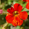 "Mimulus or ""Monkey Flower."" Such a funny name for such a beautiful plant."