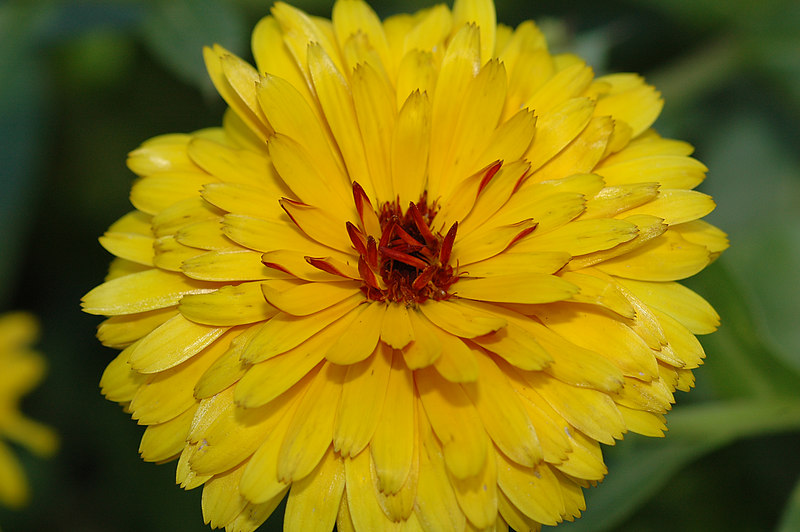 "Calendula, commonly called ""Poet's Marigold"" or ""Garden Marigold"" or ""Pot Marigold."""