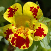 Another Monkey Flower. Looks like somebody spilled red paint on it.