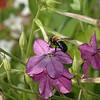 The Pollinator.