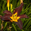 This one is called a Black Daylily.