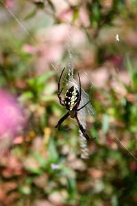 Black yellow garden spider (in Patsy's garden)