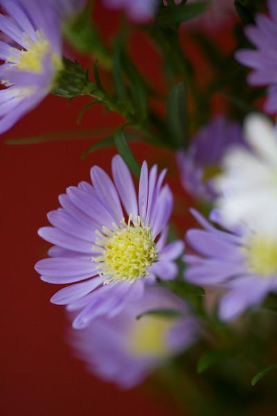 Aster novi-belgii,also called Michaelmas daisy, star wort or frost flower, are rhizomatous perennials, summer- to autumn-flowering