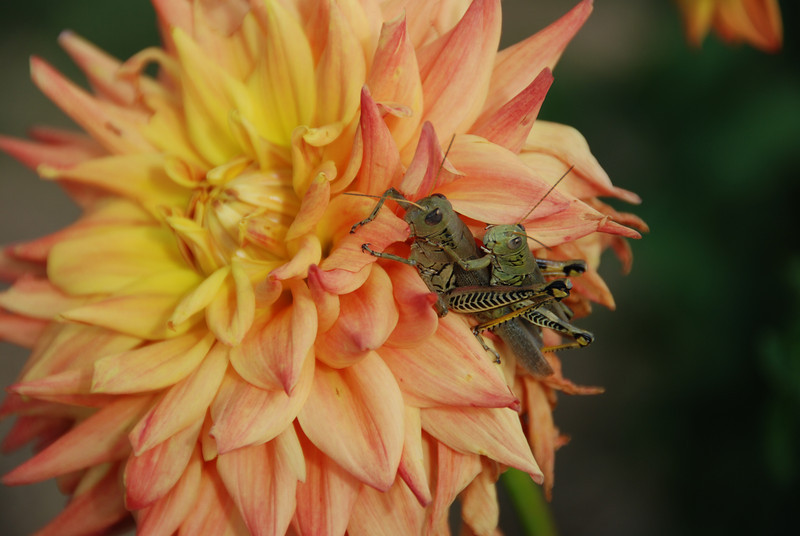 These grasshoppers stayed put the whole time I was shooting pictures.