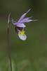 Fairy Slipper (Calypso bulbosa)