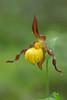 Small Yellow Lady's slipper (Cypripedium calceolus var parviflorum)
