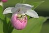 Gray Tree Frog in a Showy Lady's-slipper blossom (Cypripedium reginae)