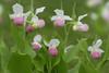 Showy Lady's-slipper (Cypripedium reginae)