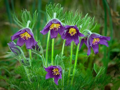 Pasque Flower,MN Arboretum---Wf-6023