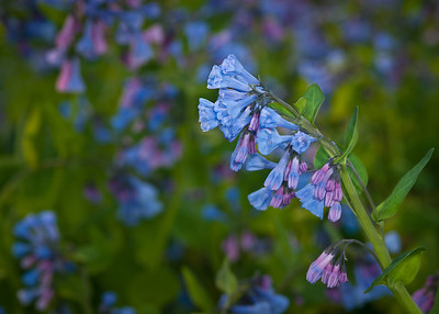 A Hillside of Bluebells greets you at the entrance to the Arboretum Wildflower garden---Arb-2055