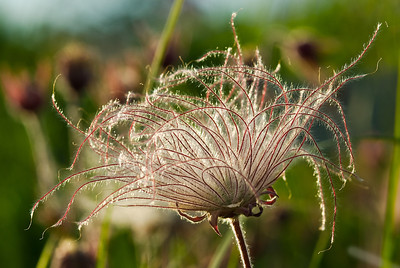 Prairie Smoke seeding out---Arb-2005