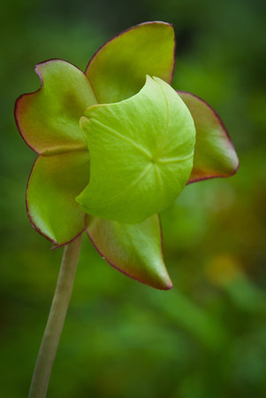 Pitcher Plant Flower, Pennington Bog, Pennington MN---Wf-6018