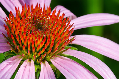 The Cone Flower is covered with early mornig dew---Arb-5059