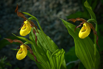 Small Yellow Lady Slipper---WF-6001