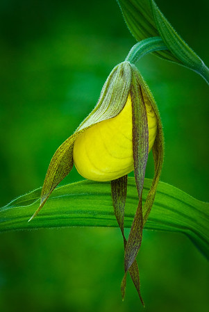 Yellow Lady Slipper Emerging---Arb-2024