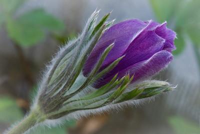 Purple Pasque Flower, Minnesota landscape Arboretum---Wf-6020
