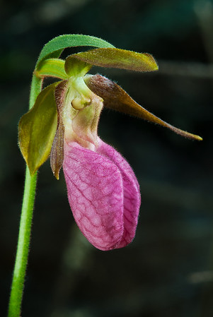 Pink Lady Slipper, Iron Springs Bog, Itasca State Park MN---WF-6003