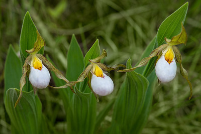 White Lady Slipper Trio