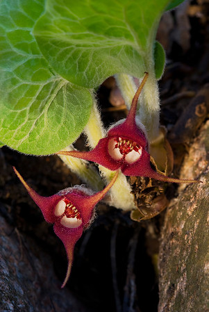 Wild Ginger Flowers---Arb-2025