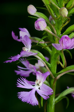 Purple Fringed Orchid---Wf-6009