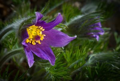 Pasque Flower,  MN Arboretum---Wf-6022