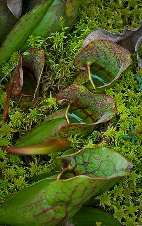 Pitcher Plant, Pennington Bog, Pennington MN---Wf-6017