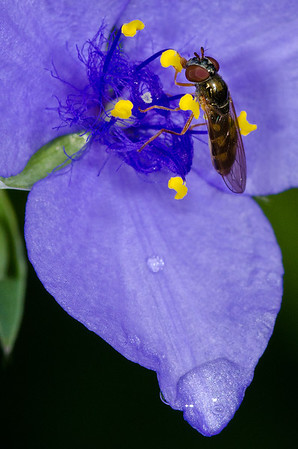 Ohio Spiderwort adds a vibrant blue to the summer Prairie Garden---Wf-6035