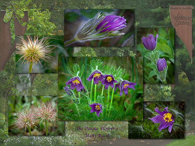 The Pasque Flower's Many Faces-From the 2011 Arboretum juried show---WF-6026