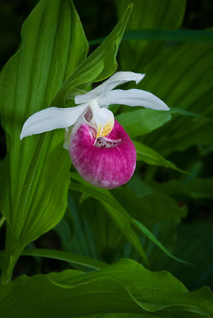 Showy Lady Slipper, The Minnesota State Flower---Arb-2053