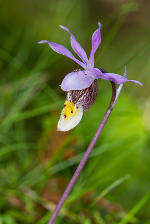 Calypso Bulbosa (Fairy Slipper) North Central Minnesota bog.