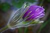 Purple Pasque Flower Emerging---Arb-5057