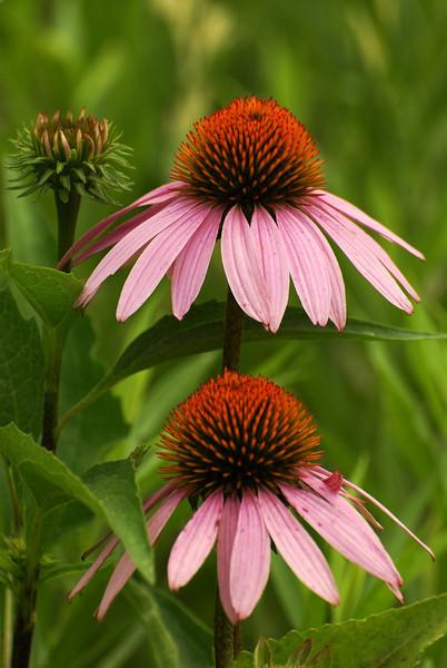 Cone Flower - #1