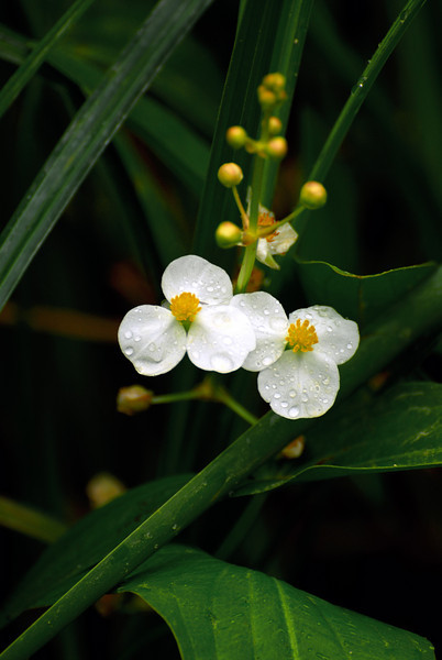 Water Lily at Carlos SP - #1
