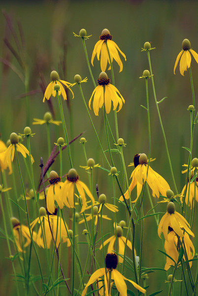 Yellow Cone Flowers at Carlos SP