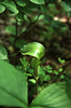 Jack -in -the -pulpit