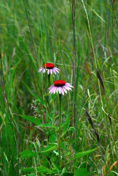 Early Cone Flowers