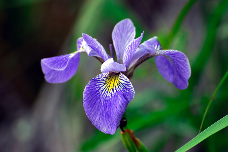 Blue Flag Iris from Itasca SP