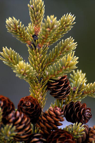 Pine cones on the North Shore