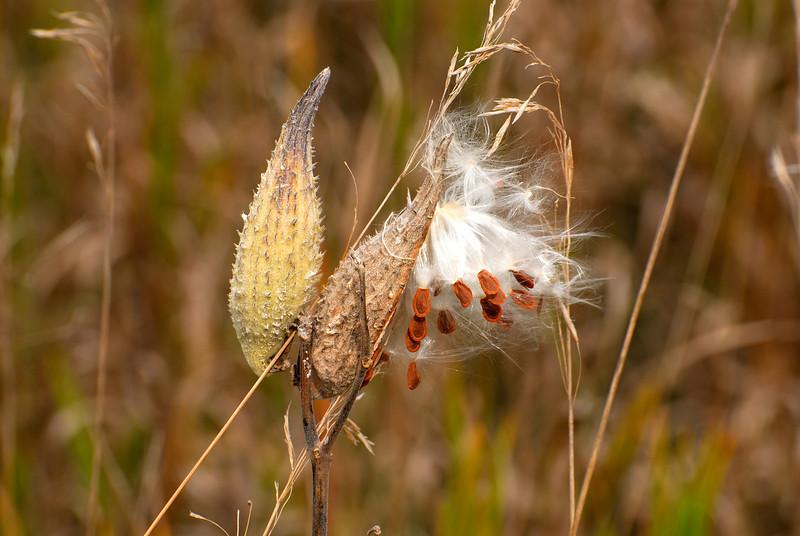 Milkweed in a Minnesota Field